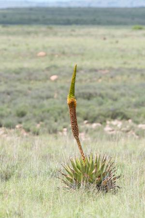 flowering aloe: An unidentified flowering aloe near Cradock in South Africa