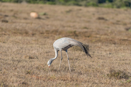 endangered species: The national bird of South Africa, the Blue Crane (Anthropoides paradiseus or Grus paradisea). It is an endangered species