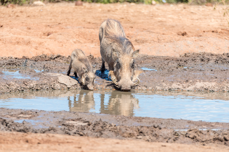 sow: A common warthog sow and piglet, Phacochoerus africanus, drinking water Stock Photo