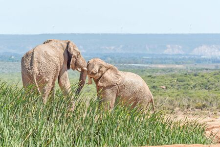 africana: Two young, mud covered african elephants, Loxodonta africana, wrestling