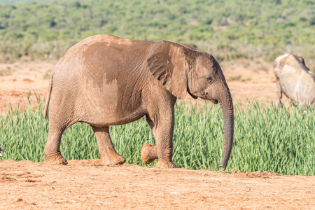 loxodonta: An African Elephant calf, Loxodonta africana, walking in sunlight Stock Photo