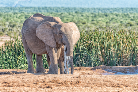 loxodonta: Two young African Elephants, Loxodonta africana, drinking water