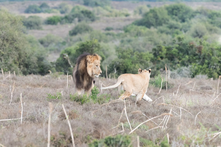 aggressively: A female African Lion, Panthera leo, reacting aggressively to the attention of a male lion
