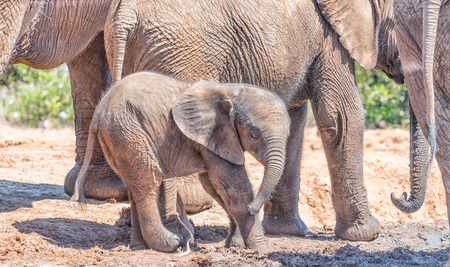loxodonta: A tiny African Elephant calf, Loxodonta africana, surrounded by its family group
