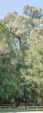 king edward: KNYSNA, SOUTH AFRICA - MARCH 5, 2016: A vertical stitched panorama of the King Edward VII big tree, a 1000 year old yellowwood tree in the Knysna Forest near Diepwalle