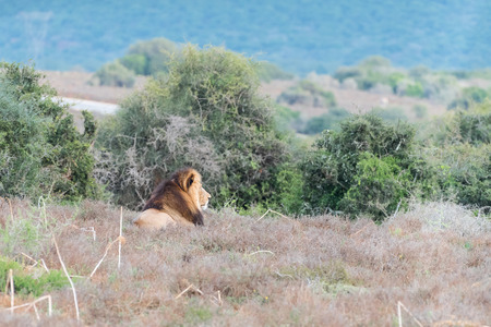 african lion: A male African Lion, Panthera leo, enjoying the early morning sun