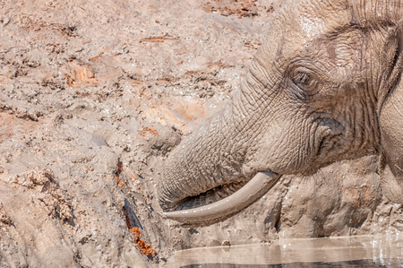 loxodonta africana: Close-up of an African Elephant, Loxodonta africana, enjoying a bath in a muddy dam
