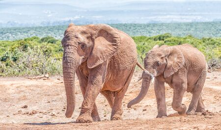 loxodonta: An African Elephant mother and large calf, Loxodonta africana, walking