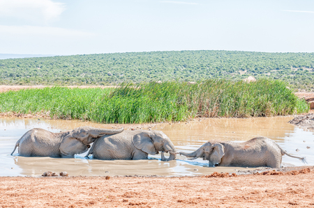 waterhole: Three young elephants playing in a muddy waterhole Stock Photo