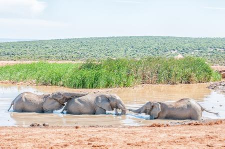 pozo de agua: Tres j�venes elefantes jugando en un pozo de agua fangosa Foto de archivo