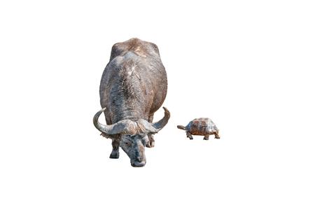 A muddy Cape Buffalo, Syncerus caffer, and a wet Leopard tortoise, Stigmochelys pardalis, isolated on white Stock Photo
