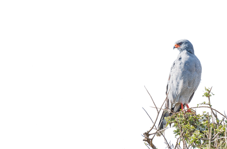 A Southern Pale Chanting Goshawk, Melierax canorus, looking over its shoulder. Isolated on white Stock Photo