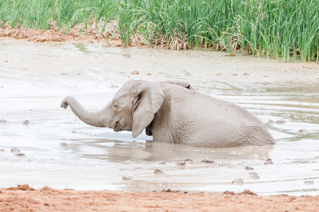 loxodonta africana: A smiling African elephant calf, Loxodonta africana, playing in a muddy waterhole Stock Photo