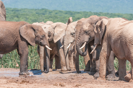 congregation: A congregation of mud covered elephants next to a waterhole