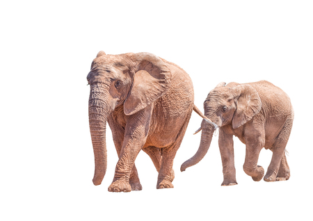africana: An African Elephant mother and large calf, isolated in white, Loxodonta africana, walking