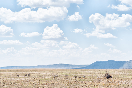 ostrich chick: An ostrich family on a farm near Jagersfontein, a diamond mining town in the Free State Province of South Africa