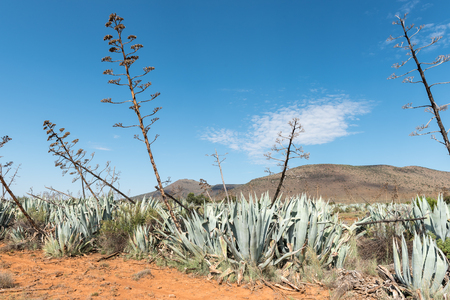 A plantation of Sisal plants (Agave sisalana) near Nieu-Betesda, an historic village in the Eastern Cape Province