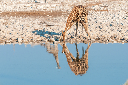 A Namibian giraffe, giraffa camelopardalis angolensis, drinking. The reflections of two giraffes are visible Stok Fotoğraf