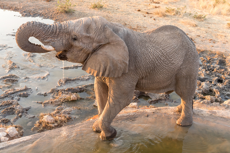 An African elephant, Loxodonta africana, drinking water at sunset a waterhole in Northern Namibia Stock Photo