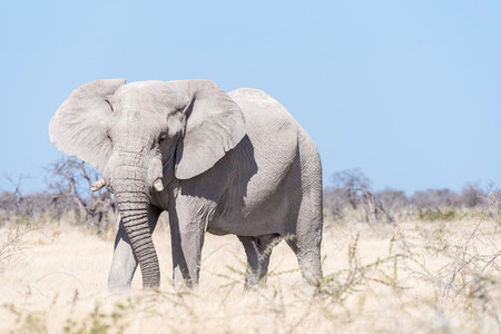 A white African elephant, Loxodonta africana, walking in Northern Namibia. It is covered with white calcrete dust