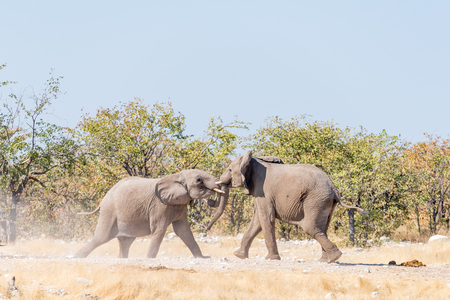 Two young African elephant bulls, Loxodonta africana, in a mock fight in Northern Namibia