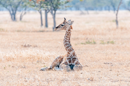 A Namibian giraffe calf, giraffa camelopardalis angolensis, lying on the grass in the Northern part of Namibia