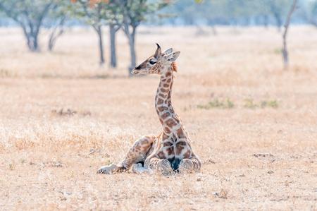 Een Namibian giraffekalf, giraffa camelopardalis angolensis, liggend op het gras in het noordelijke deel van Namibië