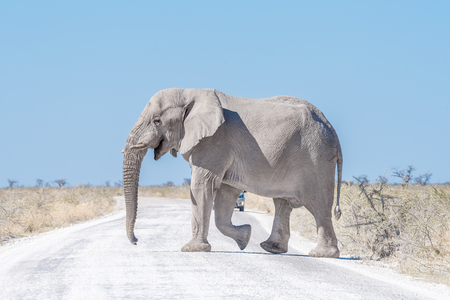 A white African elephant, Loxodonta africana, walkingaccross a road in Northern Namibia. It is covered with white calcrete dust
