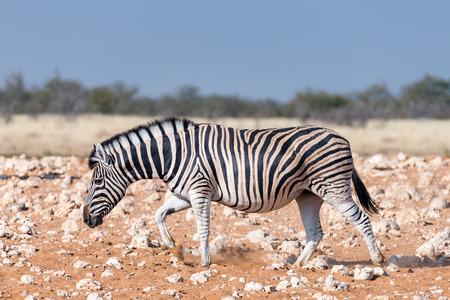 A pregnant Burchells zebra mare , Equus quagga burchellii, walking in red sand in Northern Namibia