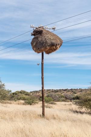 社交的なウィーバー鳥、Philetairus socius 通信ポール グリークワタウン、北ケープ州の小さな町の近くに建てられたコミューンの巣を入力する飛行