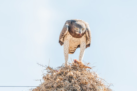 A martial eagle, Polemaetus bellicosus, eating prey on top of a communal bird nest, built on top a a telecommunications pole near Groblershoop in the Northern Cape Province Stock Photo