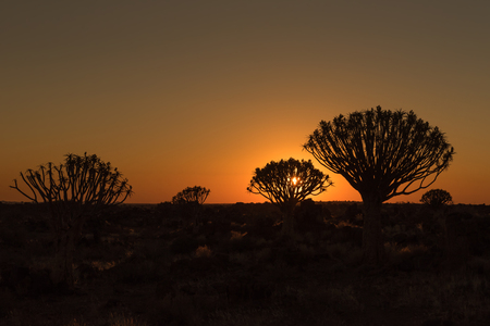 Silhouettes at sunset of quiver trees and rocks at the forest at Garas Park Rest Camp, near Keetmanshoop on the B1-road  to Mariental