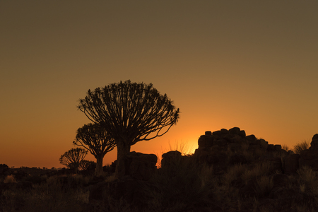 dichotoma: Silhouettes at sunset of quiver trees and rocks at the forest at Garas Park Rest Camp, near Keetmanshoop on the B1-road  to Mariental