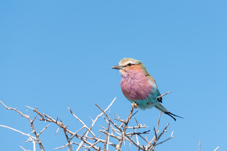 A lilac-breasted roller, Coracias caudatus, on a thorn tree in Northern Namibia Stock Photo