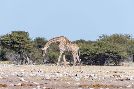 A Namibian giraffe, Giraffa camelopardalis angolensis, walking with bowed head through a field covered in white, calcrete, rocks in Northern Namibia