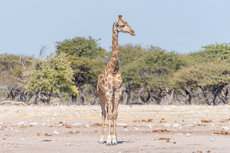 A Namibian giraffe, giraffa camelopardalis angolensis, facing the camera with head turned to its left side