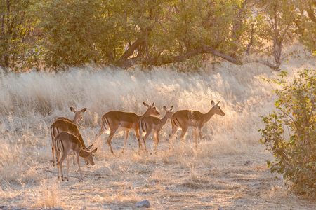 ewes: A herd of black-faced impala ewes, Aepyceros melampus, at sunset in Northern Namibia.