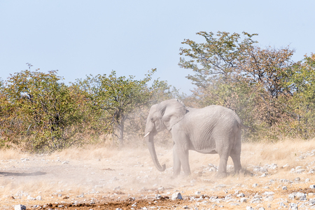 A young African elephant bull, Loxodonta africana, kicking up dust during a mock fight in Northern Namibia