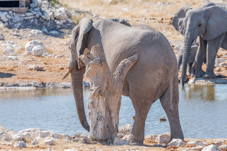 An African elephant, Loxodonta africana, scratching against a dead tree stump at a waterhole in Northern Namibia