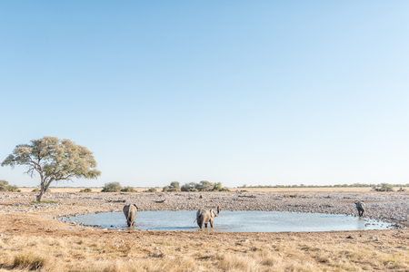 Three African elephants, Loxodonta africana, at a waterhole in Northern Namibia Stock Photo