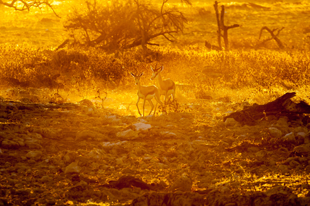 pozo de agua: Two springbok (Antidorcas marsupialis), walking in the last rays of the setting sun in Northern Namibia