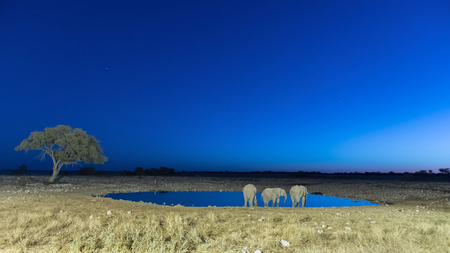 Three African Elephants, Loxodonta africana, drinking water at an artificially lit waterhole in Northern Namibia after sunset Stock Photo