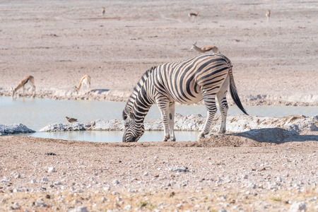 A Burchells zebra, Equus quagga burchellii, drinking water at a waterhole in Northern Namibia