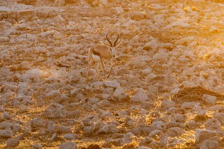 A springbok (Antidorcas marsupialis), walking between white, calcrete, rocks at sunset in Northern Namibia