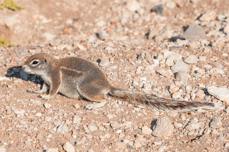A cape ground squirrel, Xerus inauris in Northern Namibia