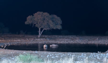 Black rhinos, Diceros bicornis, also called hook-lipped rhinoceros, in an artificially lit waterhole in Northern Namibia Stock Photo