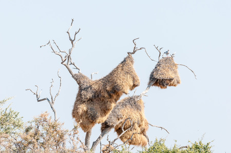 A Southern Pale Chanting Goshaw, Melierax canorus, on top of a huge community nest of a sociable weaver, Philetairus socius, built in a dead tree