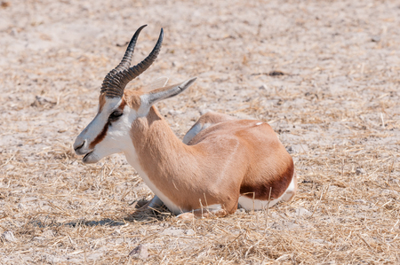 pozo de agua: Close-up of a springbok lying on the ground in Northern Namibia Foto de archivo