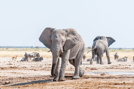 taurinus: Two African elephants, blue wildebeest and springbok at a waterhole in Northern Namibia Stock Photo