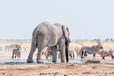 taurinus: An African elephant drinking water at a waterhole in Northern Namibia. Oryx, blue wildebeest and springbok are also visible